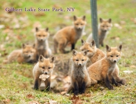 Gilbert Lake Fox Kit Postcard